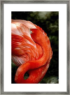 Poised Flamingo Framed Print