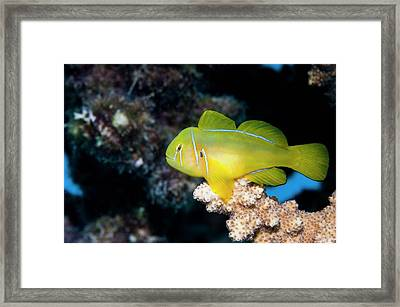Poison Goby On Coral Framed Print