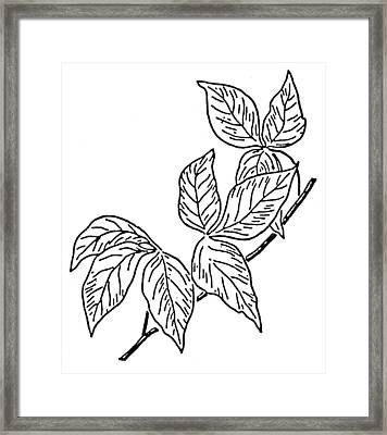 Poison Ivy Framed Print by Granger