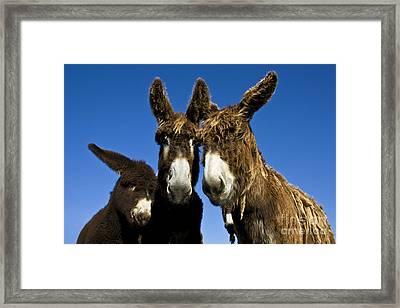 Poitou Donkey Family Framed Print