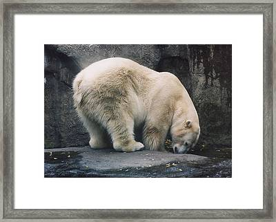 Framed Print featuring the photograph Polar Bear At Zoo by Myrna Walsh