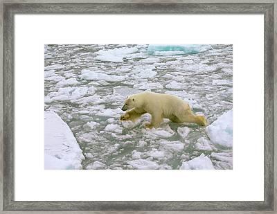 Polar Bear Crossing Ice Floes Framed Print