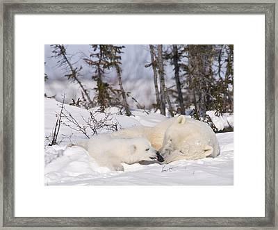Polar Bear Cub Kisses Mother Framed Print