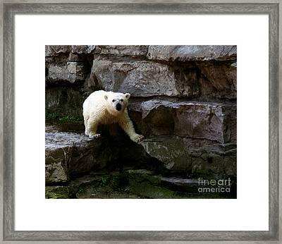 Framed Print featuring the photograph Polar Bear Cub by Tom Brickhouse
