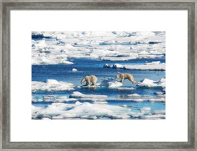 Polar Bear Cubs In Svalbard Framed Print by June Jacobsen