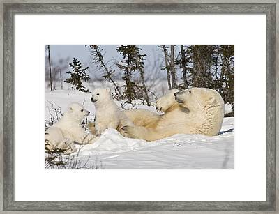 Polar Bear Family Playing In The Snow Framed Print