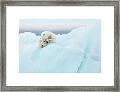 Polar Bear Grooming Framed Print