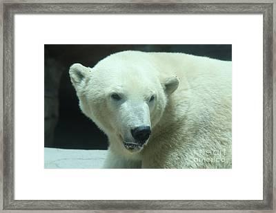 Polar Bear Head Shot Framed Print by John Telfer