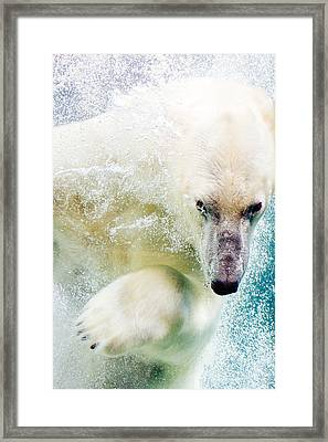 Polar Bear In Water Framed Print by Pati Photography