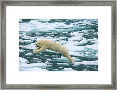Polar Bear Jumping Across Ice Floes Framed Print