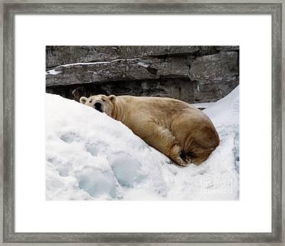 Framed Print featuring the photograph Polar Bear Looking by Tom Brickhouse