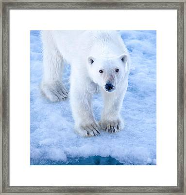Polar Bear Portrait In Svalbard Framed Print by June Jacobsen