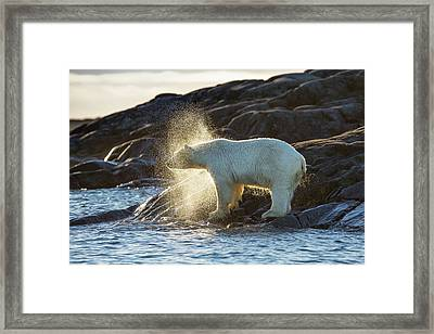Polar Bear Shaking Water Off Framed Print by Peter J. Raymond