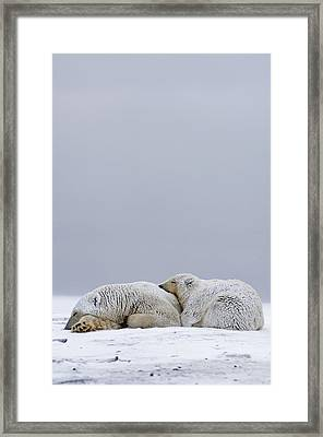 Polar Bear Sow With Cub Resting Framed Print