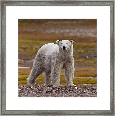 Polar Bear, Spitsbergen Island Framed Print