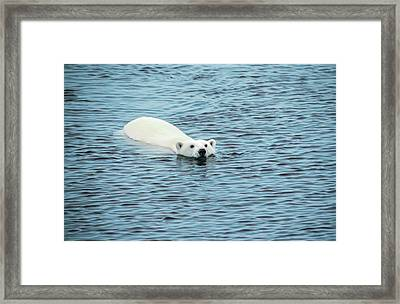 Polar Bear Swimming Framed Print by Peter J. Raymond