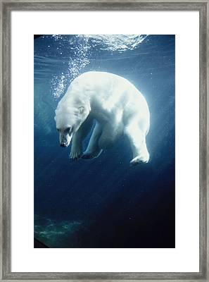 Polar Bear Swimming Underwater Alaska Framed Print by Steven Kazlowski