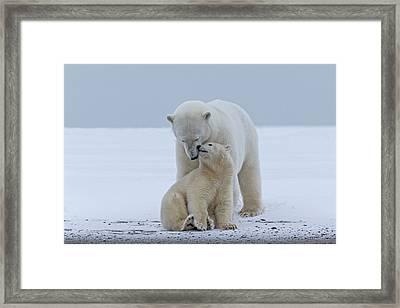 Polar Bear Framed Print by Sylvain Cordier