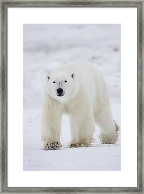 Polar Bear Walking Across Snow And Framed Print by Robert Postma