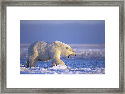 Polar Bear Walking On Pack Ice Beaufort Framed Print