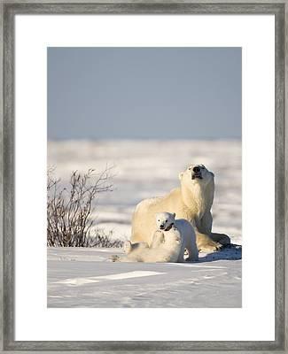 Polar Bear Watches Cubs Play Framed Print