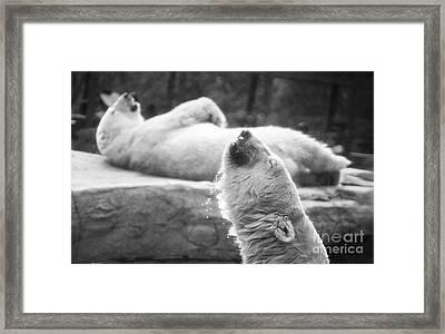 Polar Bears Framed Print by Michael Ver Sprill