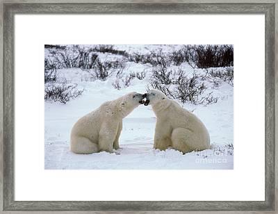 Polar Bears Sparring Framed Print by Francois Gohier