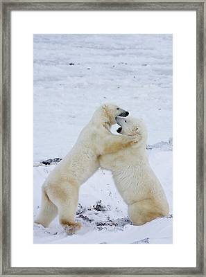 Polar Bears Ursus Maritimus Sparring Framed Print by Panoramic Images