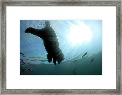 Polar Plunge Framed Print by Jackie Novak