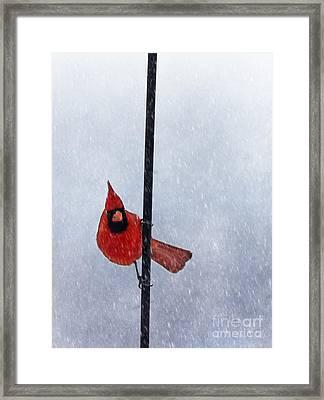 Pole Dancing Cardinal Framed Print by Darren Fisher