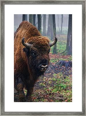 Polish Bison Framed Print by Mariola Bitner