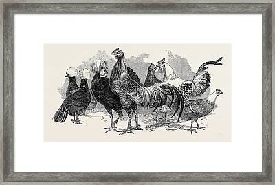 Polish Fowls, First Prize Mr. Tyler, Fowls From China Framed Print
