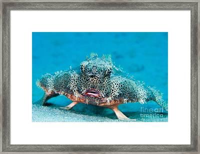 Polka-dot Batfish Framed Print by David Fleetham