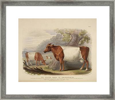 Polled Suffolk Breed Framed Print by British Library