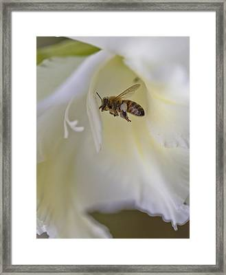 Pollen Carrier Bee Framed Print by Maj Seda