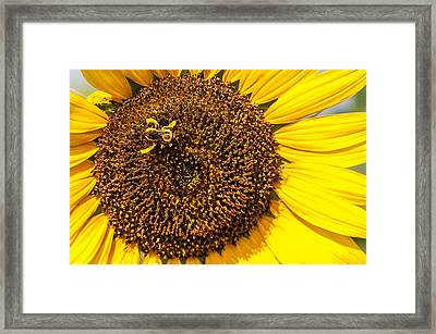 The Sunflower And The Bee Framed Print