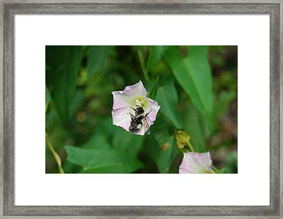 Framed Print featuring the photograph Pollenating Bee by Ramona Whiteaker