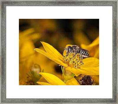 Pollenating Coreopsis Flower Framed Print by Len Romanick