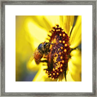 Pollinating Framed Print