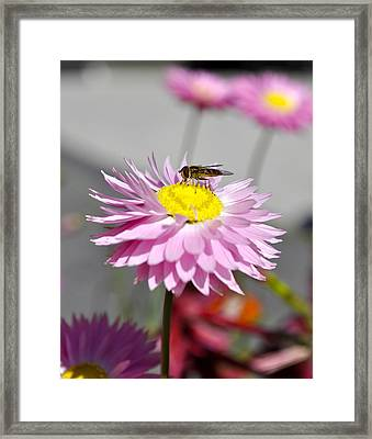 Framed Print featuring the photograph Pollination by Cathy Mahnke