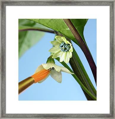 Pollination Of Carolina Reaper Chilli Framed Print by Cordelia Molloy