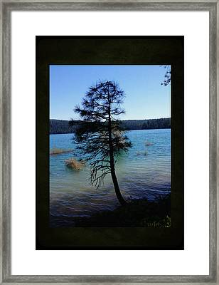 Pollock Pine Framed Print by Sherry Flaker