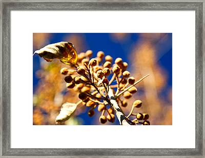 Pollyana Seed Pods Framed Print by Christopher McPhail