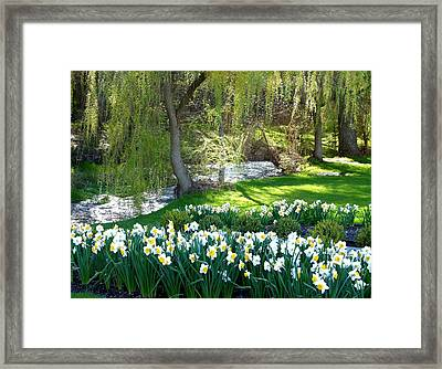 Polson Park Daffodils Framed Print by Will Borden