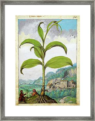 Polygonatum Bianco Plant Framed Print by British Library