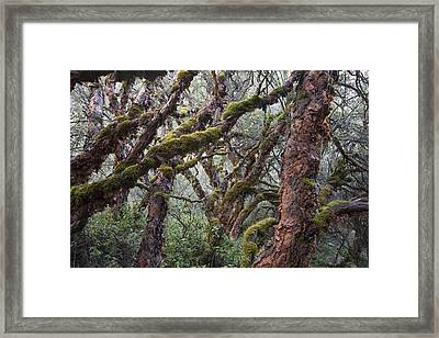 Polylepis Forest Cordillera Blanca Peru Framed Print by Cyril Ruoso
