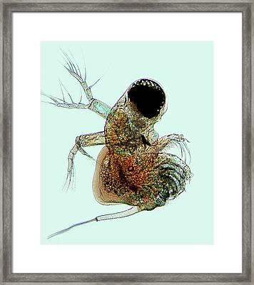 Polyphemus Crustacean Framed Print by Marek Mis
