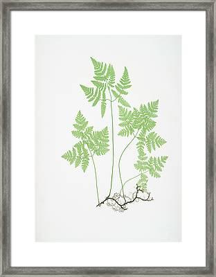 Polypodium Dryopteris Framed Print