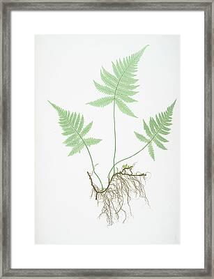 Polypodium Phegopteris Framed Print