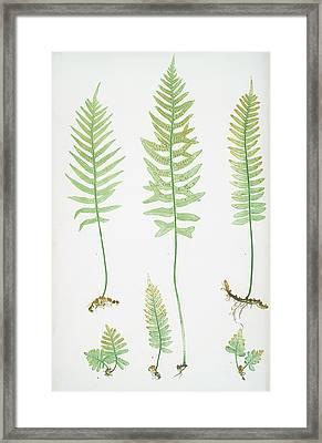 Polypodium Vulgare A,b,c,d, P. Vulgare Acutum E Framed Print
